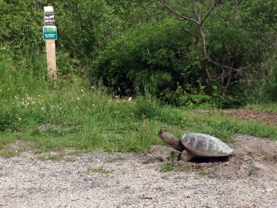 turtle on the stroudwater