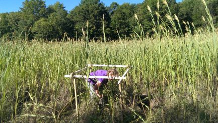 A volunteer sets up a monitoring box in a large patch of Phragmites to help measure the spread of this invasive reed.
