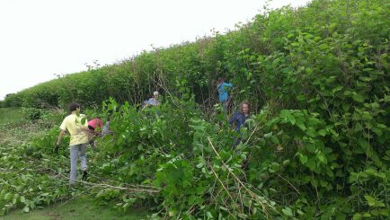 Volunteers emerge from a wall of knotweed on the MidSlope trail.